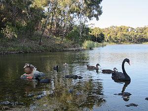 Newport, Victoria - Newport Lakes bird-life