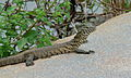 Nile Monitor (Varanus niloticus) juvenile (6001439737).jpg