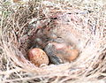 Noisy miner chick and egg.jpg