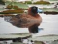 Nomonyx dominicus Pato enmascarado Masked Duck (15112579120).jpg