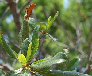 Myrica pensylvanica - Northern bayberry foliage