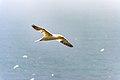Northern Gannets St Mary Cape Newfoundland (41321326762).jpg