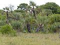 Northern Lala Palms (Hyphaene petersiana) (11549878945).jpg