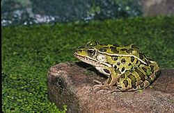 Northern leopard frog 1.jpg