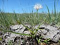 Nothocalais cuspidata (27592541265).jpg