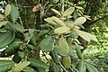 Notholithocarpus densiflorus kz05.jpg