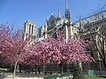 Notre Dame Cathedral Cherry Blossoms (5987322638).jpg