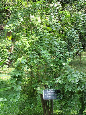 Nyctanthes arbor-tristis (Night jasmine) tree in RDA, Bogra 02.jpg
