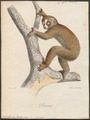 Nycticebus tardigradus - 1818-1842 - Print - Iconographia Zoologica - Special Collections University of Amsterdam - UBA01 IZ19700118.tif