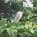 Nycticorax nycticorax (Black-crowned Night-heron).jpg