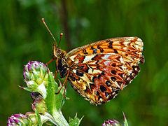 Nymphalidae - Boloria (Clossiana) titania.JPG