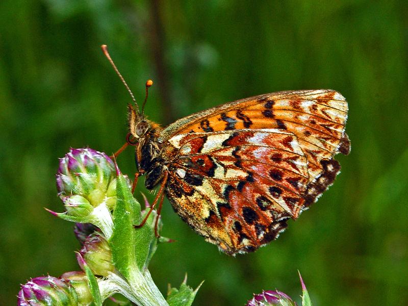 Bộ sưu tập cánh vẩy 4 - Page 51 800px-Nymphalidae_-_Boloria_%28Clossiana%29_titania