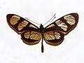Nymphalidae - Methona themisto.JPG