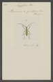 Nyssicus - Print - Iconographia Zoologica - Special Collections University of Amsterdam - UBAINV0274 033 06 0011.tif