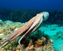 An octopus swimming with its round body to the front, its arms forming a streamlined tube behind