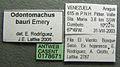 Odontomachus bauri casent0178671 label 1.jpg