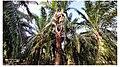 Oil Palm Giant Slingshot.jpg