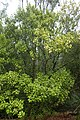 Olearia paniculata kz2.jpg