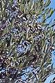 Olives (CAILLETIER) CL. J Weber (4) (23148312785).jpg