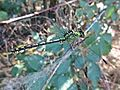 Ophiogomphus cecilia (Gomphidae sp.), Swalmen, the Netherlands.jpg