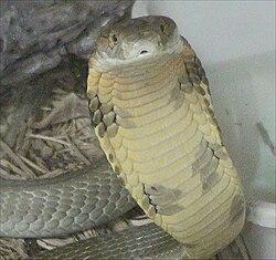 キングコブラの画像 p1_3