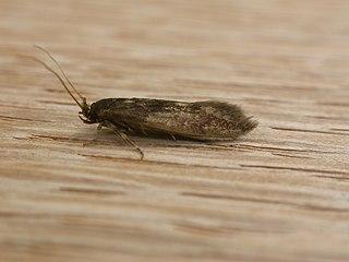 <i>Opogona</i> genus of insects