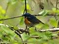 Orange-flanked Bush Robin (Tarsiger cyanurus) (22450510813).jpg