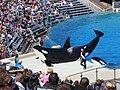 Orcas at SeaWorld show.jpg