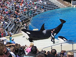 Captive killer whales - Corky II, a female orca performing at SeaWorld, San Diego, California