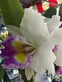 Orchid from Thailand 14.jpg