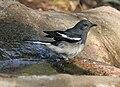 Oriental Magpie Robin (Copsychus saularis) (Female) taking bath at Sindhrot near Vadodara, Gujrat Pix 128.jpg