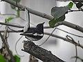 Oriental magpie robin 17.jpg