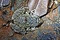 Oriente Stream Frog (Eleutherodactylus cuneatus) (8572427410).jpg