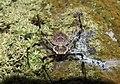 Ornamental Tree Trunk Spider Herennia multipuncta by Raju Kasambe DSCN7319 (1) 05.jpg