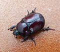 Oryctes nasicornis . Rhinocerous Beetle, Female - Flickr - gailhampshire.jpg