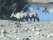 Oryx at a Watering Hole.jpg