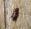 Osmia aurulenta , Gold-fringed Mason Bee. - Flickr - gailhampshire.jpg