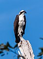 Osprey from a very long distance (8297625257).jpg