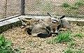 Otocyon megalotis Dvur zoo 4.jpg