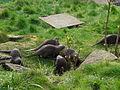 Otters mass (2393777712).jpg