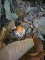 Ovulo (Cocco) rinvenuto a Sasso Pisano.JPG