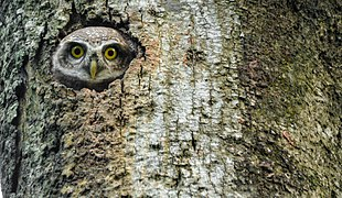 Owl,Birds Of Bangladesh.jpg