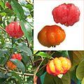 Owoce Eugenia jednokwiatowa.jpg