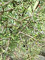P3048237 Melicytus angustifolius subsp divaricatus 04.jpg