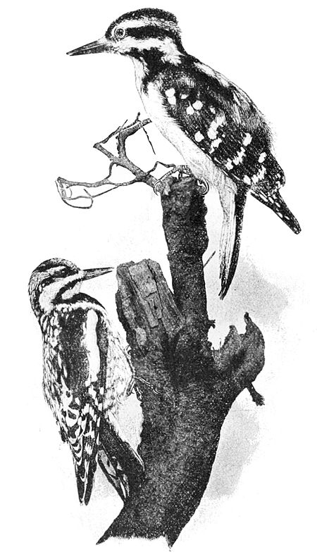 PSM V47 D682 Hairy woodpecker and yellowbellied sapsucker.jpg
