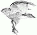 PSM V51 D616 Broad winged hawk.png