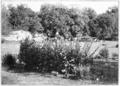 PSM V57 D187 Ny botanical garden herbaceous plantation.png