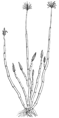 PSM V68 D065 Drawing of sweet corn of the pistillate.png