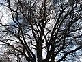 PS Lípa u Hlásné Třebaně, koruna stromu.jpg