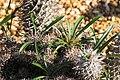 Pachypodium lamerei Cristata 2zz.jpg